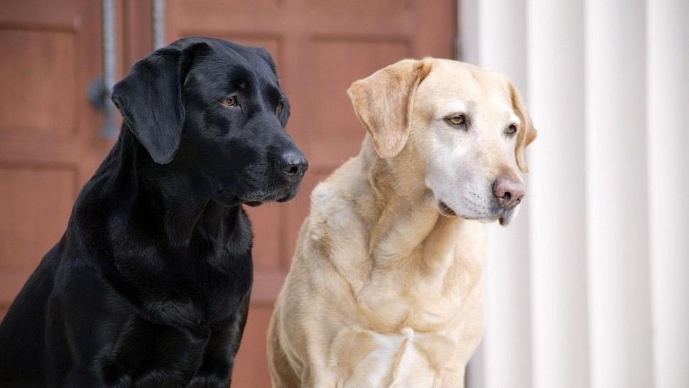"""Собаки породы """"Лабрадор"""""""